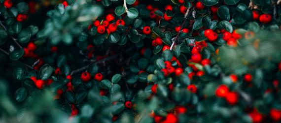 flowers-red-berries-tree